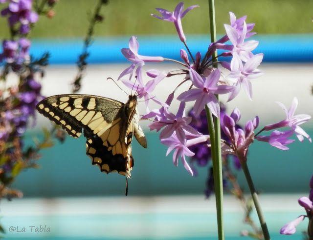 La Tabla en El Jardín: Papilio machaon, con mucho gusto