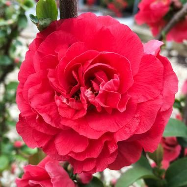 Chaenomeles speciosa 'Pink Storm' (Double Take Pink™ Quince)