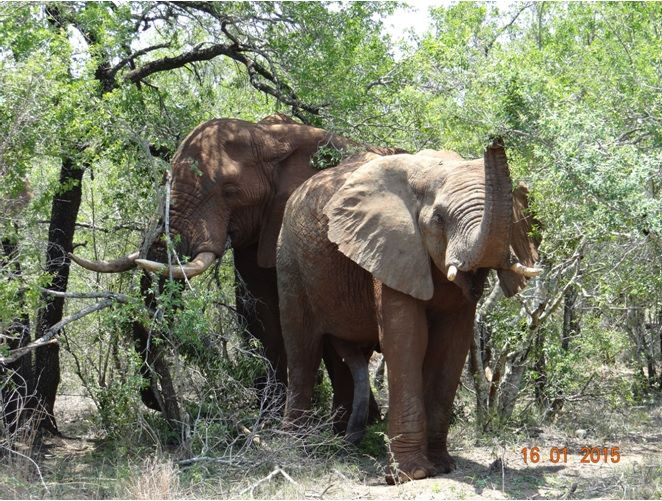5 legged Elephant in Hluhluwe Imfolozi game reserve on a Durban Safari with Tim Brown Tours.
