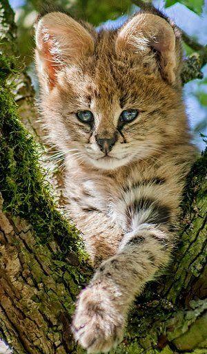 beautiful eyes...Serval kitten