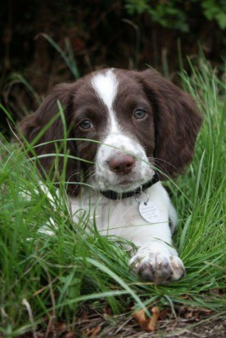English Springer Spaniel puppy ... English Springer Spaniel Training: http://tipsfordogs.info/90dogtrainingtips/