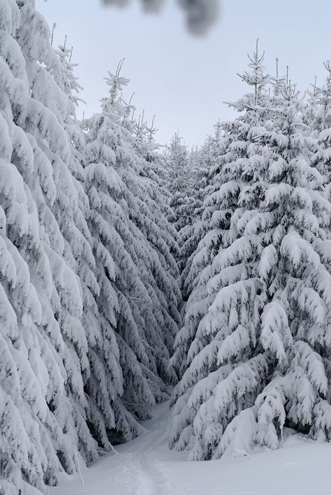 snow in evergreens make the world look black and white in the early morning.
