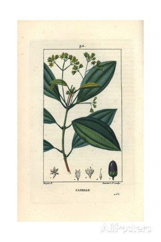 Cinnamon Tree, Cinnamomum Verum Giclee Print