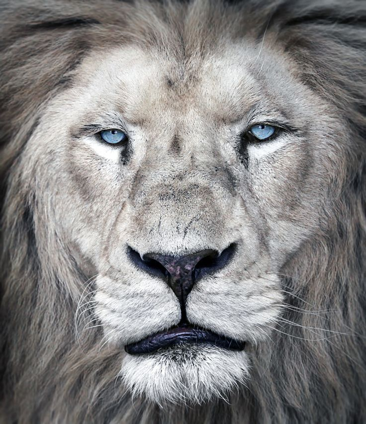 Portrait by Klaus Wiese: Animals, Big Cats, Beautiful, Creatures, Blue Eyes, Lions, Wild Cats, King, Photo