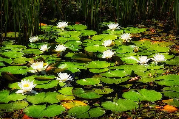 Color photo of water lilies and lily pads covering a small pool...I wonder if Claude Monet would approve?. Available on stretched canvas and other media from Photo4Me