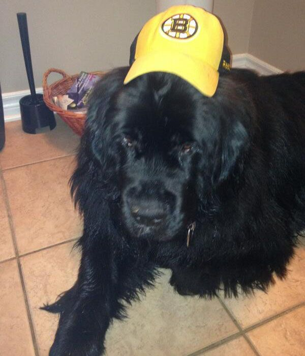"""Bruins' youngster Ryan Spooner @RSpooner2376 tweeted this photo of his new dog:  """"My girl kenzie is the newest bruins fan #newfie"""""""