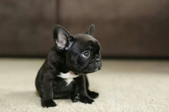 Baby Lychee | Crazy French Bulldog Lady | Cute animals ...