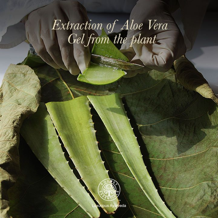 Fresh Aloe Vera Gel is extracted from the plant by experts to create organic products. Aloe Vera is a well known cooling & soothing agent, highly beneficial to the skin.