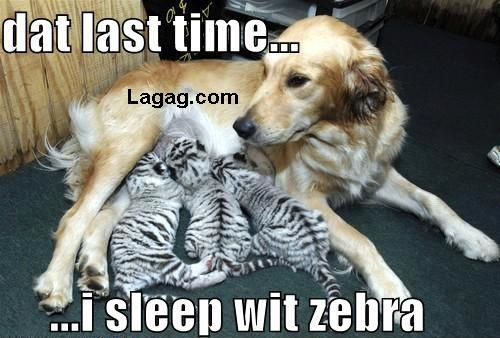 Dog Will Not Sleep with Zebra Again: White Tigers, Animal Pictures, Mothers, Dogs, Tiger Cubs, Baby, Tigers Cubs, Strange Animal, Golden Retriever
