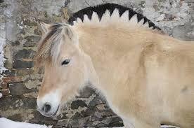 Bildergebnis für fjordpferd