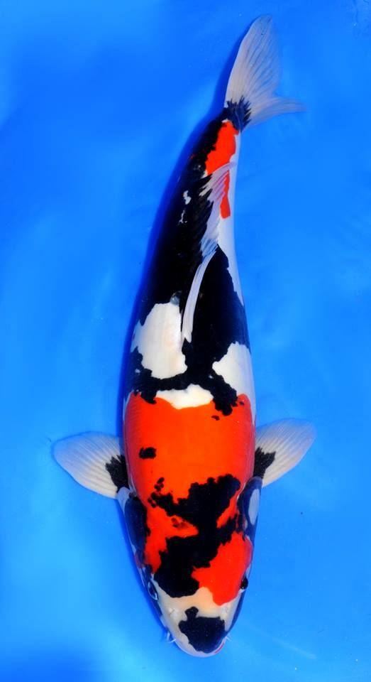 114 besten koi bilder auf pinterest fische goldfisch for Japanischer kampffisch
