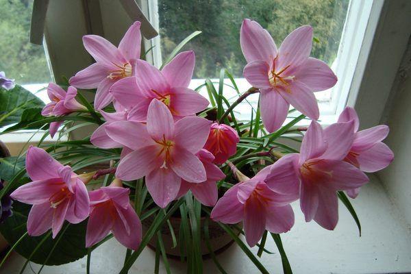 Зефирантес, «выскочка», цветок западного ветра, цветок дождя..... Обсуждение на LiveInternet - Российский Сервис Онлайн-Дневников