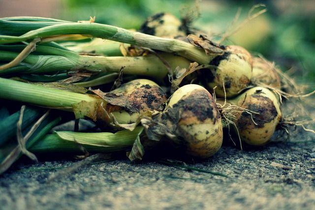 cómo cultivar cebollas en huertos urbanos