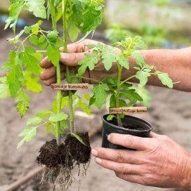 Landleven test trucs voor een succesvolle tomatenteelt.