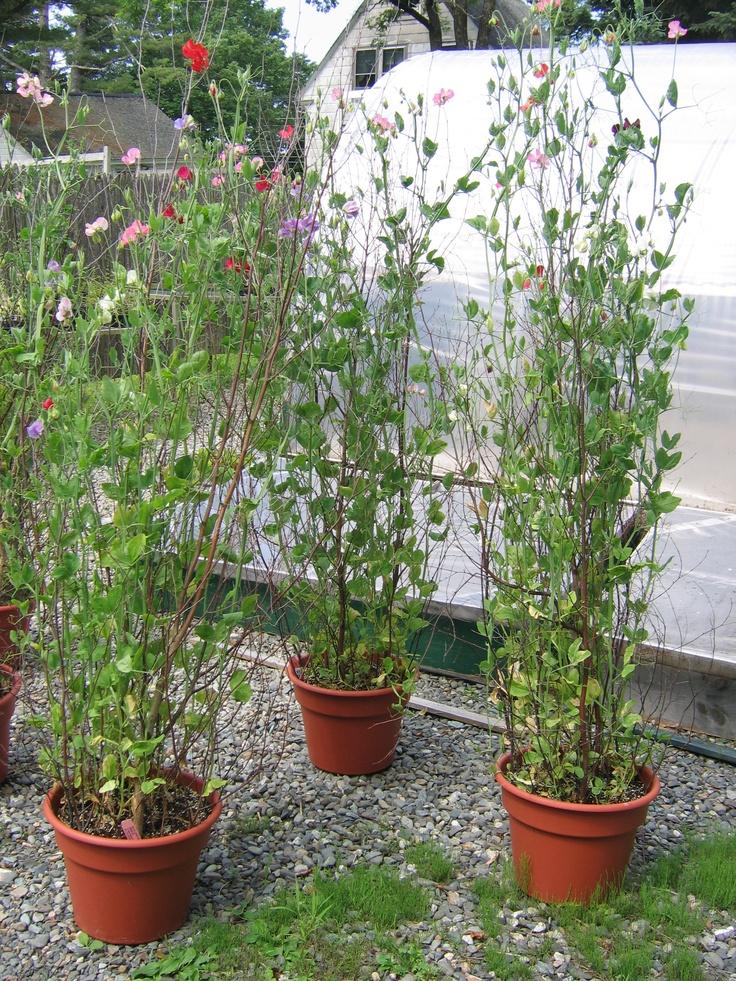 Grow in pots if no garden space!