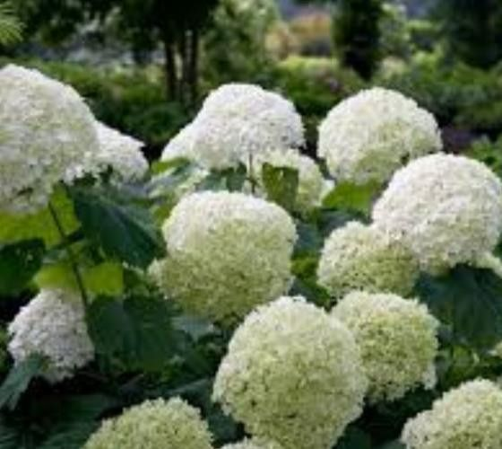 Incrediball Smooth Hydrangea hydrangea arborescens incrediball 'Abetwo' PP 20,571 Incrediball hydrangea plants exhibit an upright growth habit and will reach a height of 4-5 feet tall, with a similar