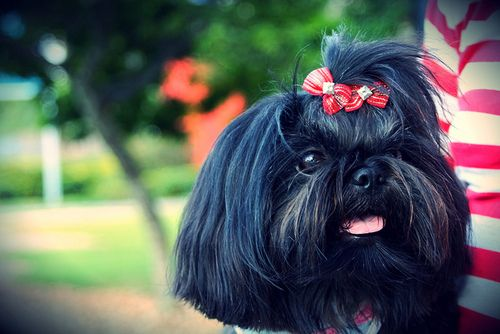 Chinese lion dog shih tzu - photo#16