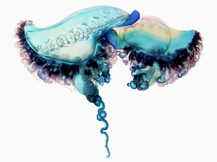 fatal attraction: aaron ansarov captures the portuguese man-of-war: I got stung by one of these off Ft Lauderdale long ago...Not too much fun!