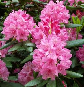 Marjatan alppiruusu Rhododendron Haaga