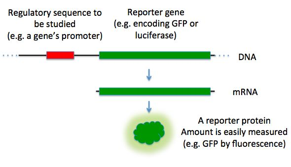 A diagram of a how a reporter gene is used to study a regulatory sequence. //