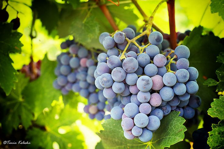 Berry Grapes...