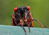 They're Back … Learning About Periodical Cicadas to Participate in 'Citizen Science' Projects