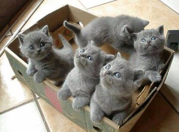 How sweet! a whole litter of chubby gray kittens!
