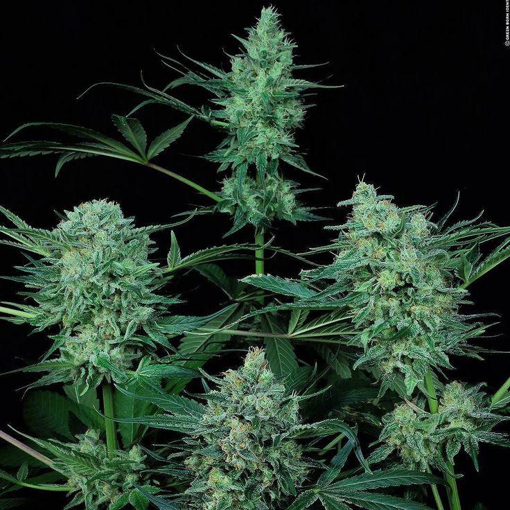 #Durgamatacbd #MedicalMarijuana #herbalmedicne #THC #CannabisMedicinal #FinestSeedCollection #paradiseseeds