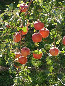 Fujis are my favorite apple, but I just read now that they are not, I repeat, are not self pollinating. I have to plant a pollinator right away.