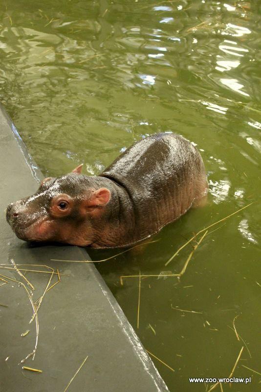 Hippo Calf Makes Zoo Feel Like Dancing <3