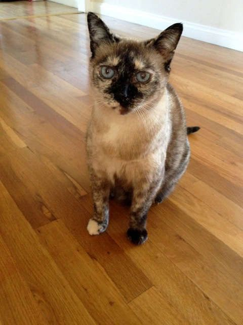 Katya is an adoptable senior female Siamese searching for a forever family near Encino, CA. Katya is available through Southern California Siamese Rescue.