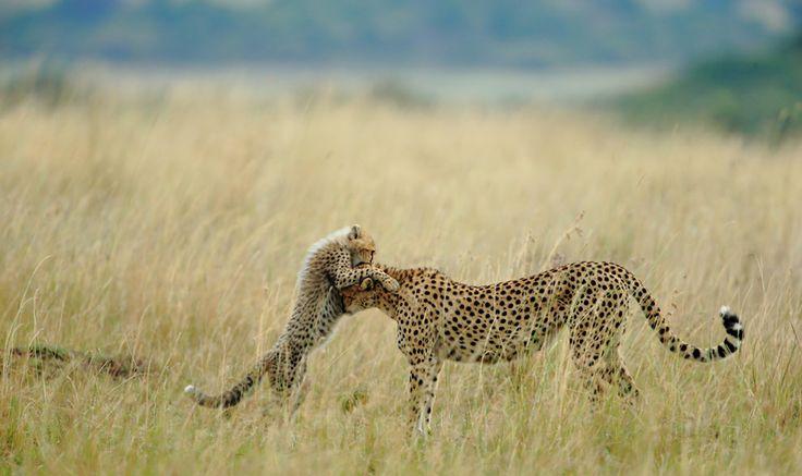 female Cheetah and her cub