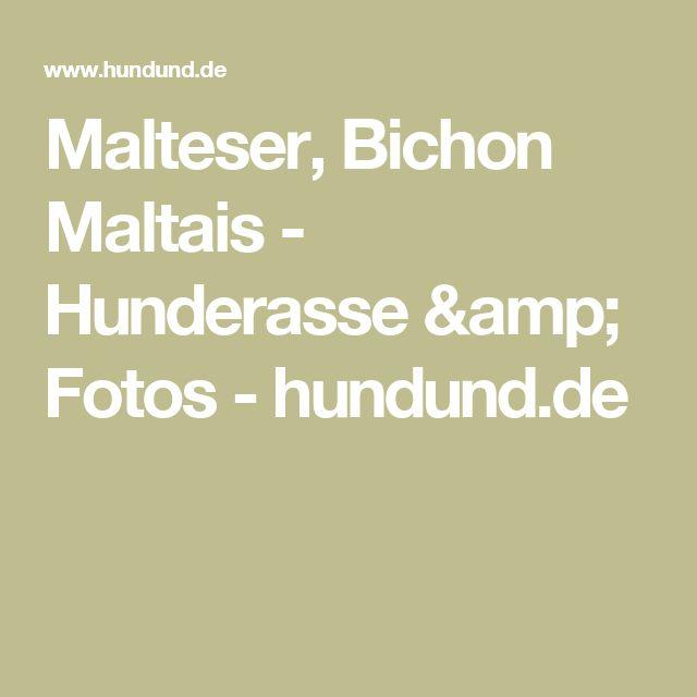 Malteser, Bichon Maltais - Hunderasse & Fotos - hundund.de