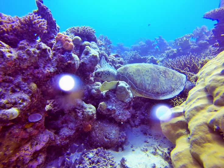 Combine the adventure of diving with marine conservation. Learn to dive and volunteer on the Great Barrier Reef, #Cairns   http://www.nolimitadventures.com.au/marine-conservation-program/