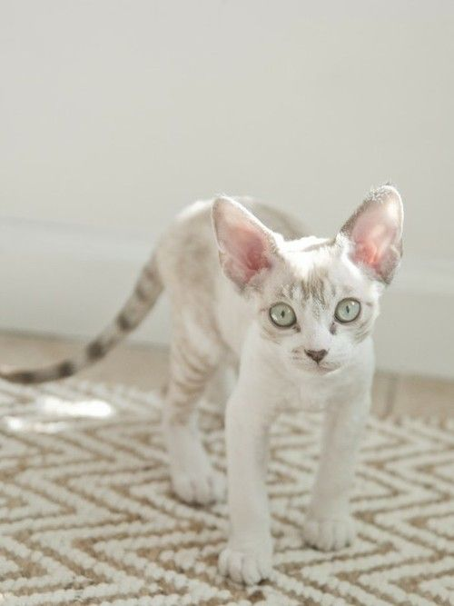 Devon Rex. Adorable and sheds considerably less than the average cat. This cat is pretty cool.