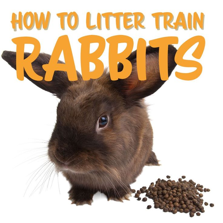 How To Litter Train A Rabbit Easy If You Know How H&R