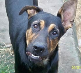 SCOOBY is an adoptable Great Dane/Shepard dog in Lithia, FL. = I am giving this guy a real hard look, I like his looks, he is young and will  grow to be big and strong, thats what I need in my new service dog, Hi Scooby want to come home with me forever?