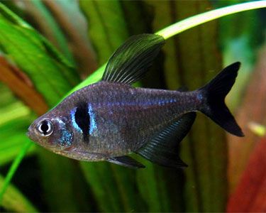 Black Phantom Tetra - the first addition to our tank x 6!