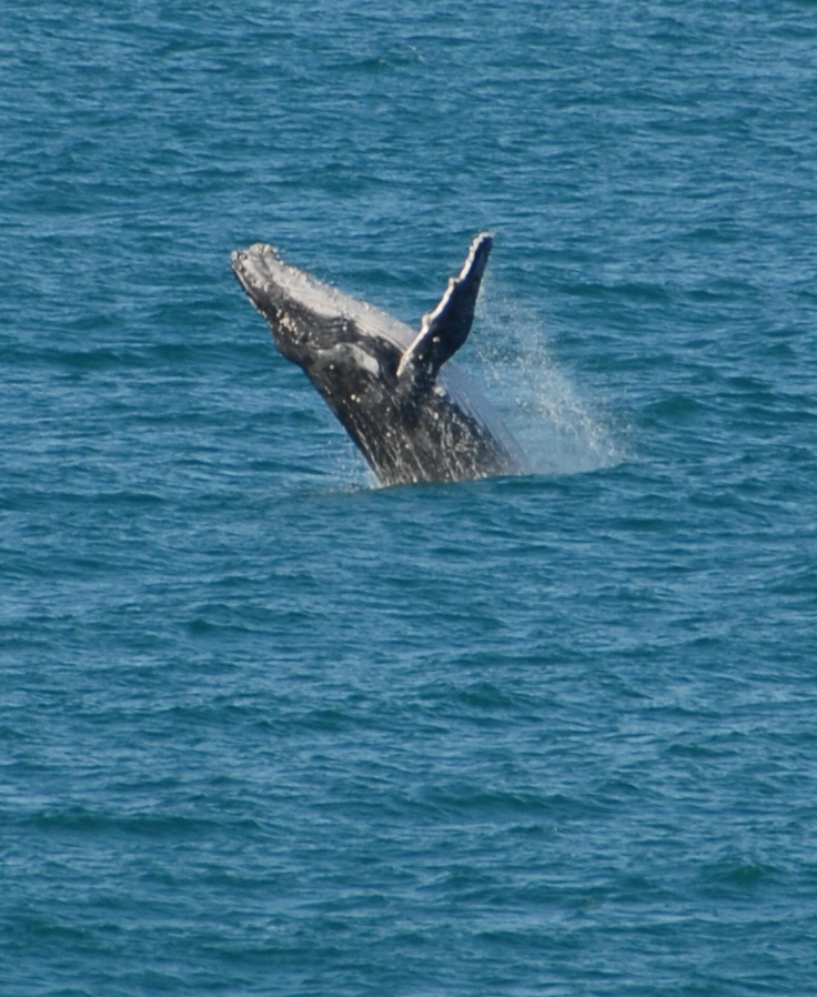 Grab a glimpse of these magnificent creatures off shore from one of several lookouts including the viewing platform at Scotts Head and Captain Cook Lookout at Nambucca Heads.