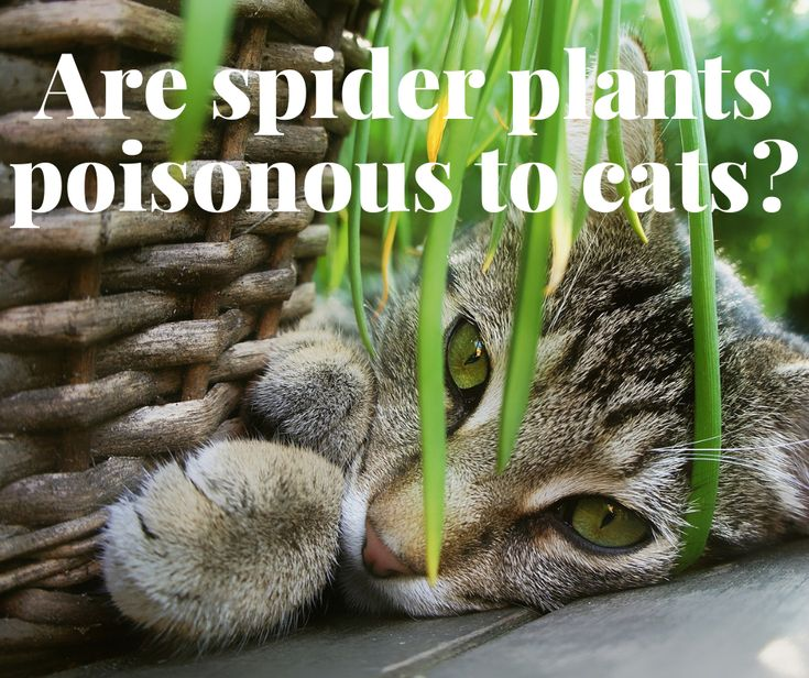 Are Spider Plants Poisonous To Cats? 6 Ways To Keep Your