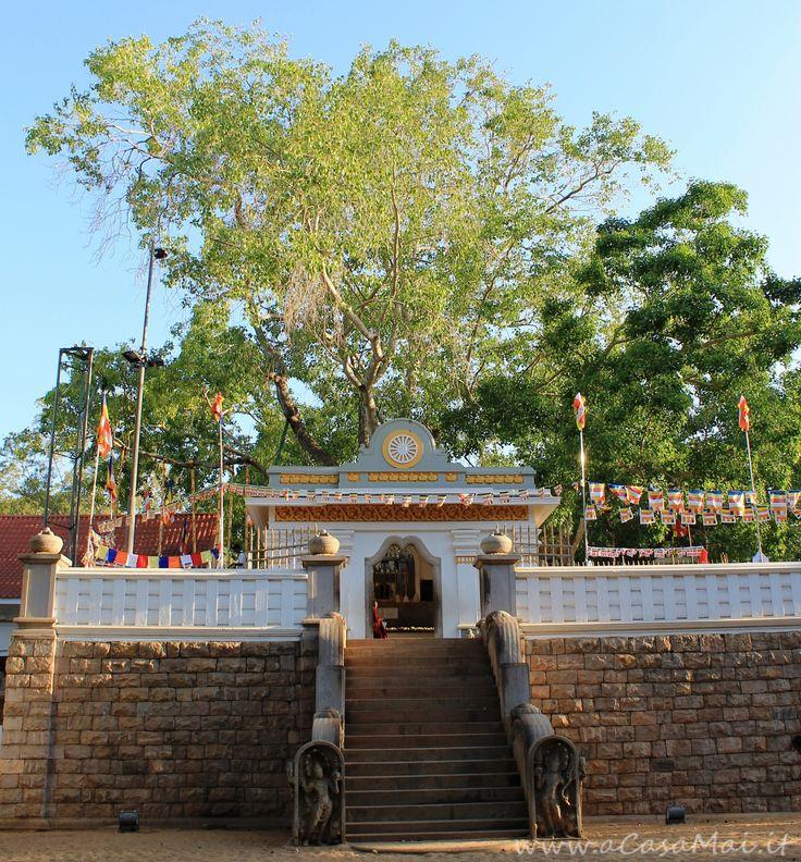 Sri Maha Bodhi è l'albero di #Ficus Religiosa più antico del Mondo... è anche sacro ai #buddhisti. #recensione #SriLanka #Asia #acasamai