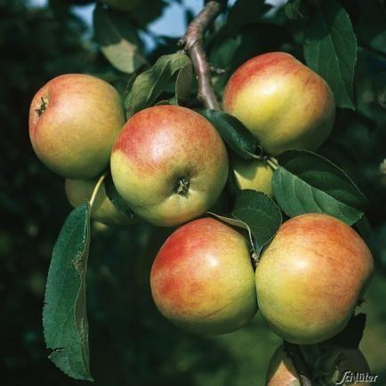 Apfel 'Gravensteiner'