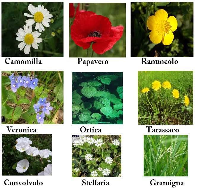 Giardini, prati, piante da vaso sono spesso costrette a sottostare alla presenza di erbe infestanti. Con tale termine si intendono erbacee sia annuali che perenni che tendono a crescere dove non dovrebbero ma , talvolta le stesse specie vengono coltivate...