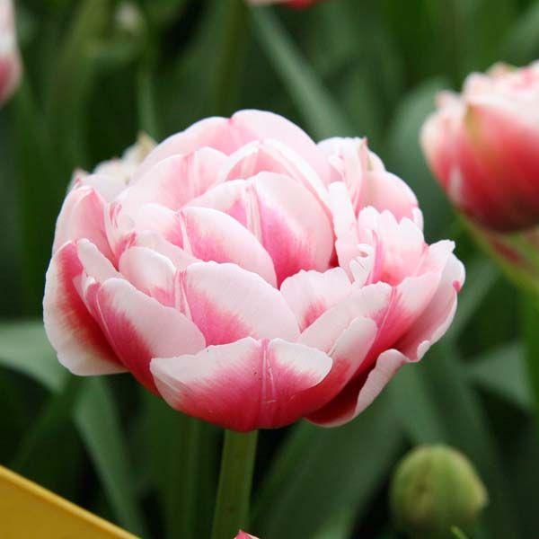Tulipe Double Gerbrandt Kieft