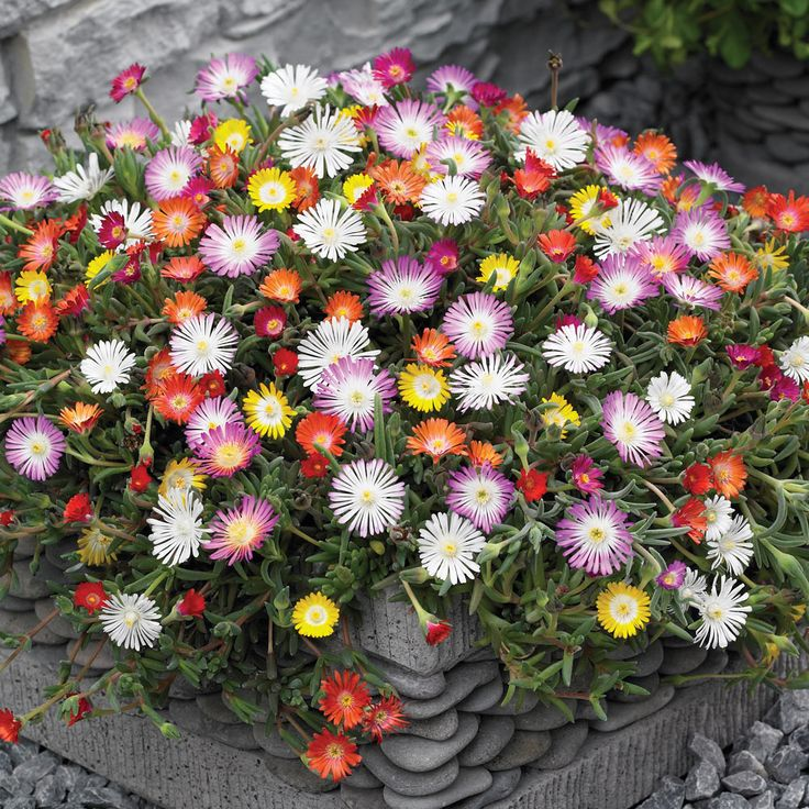 Delosperma 'Hardy Mixed' - Perennial & Biennial Plants - Thompson & Morgan