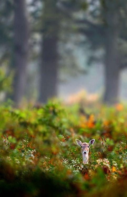 Peekaboo - #Fawn #Deer