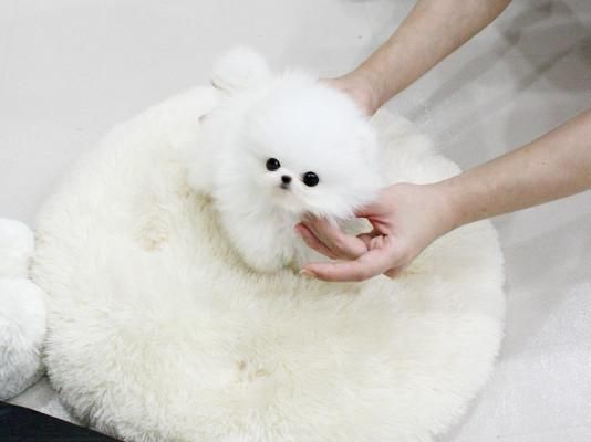 25 best ideas about white pomeranian on pinterest white - Cute pomeranian teacup puppy ...