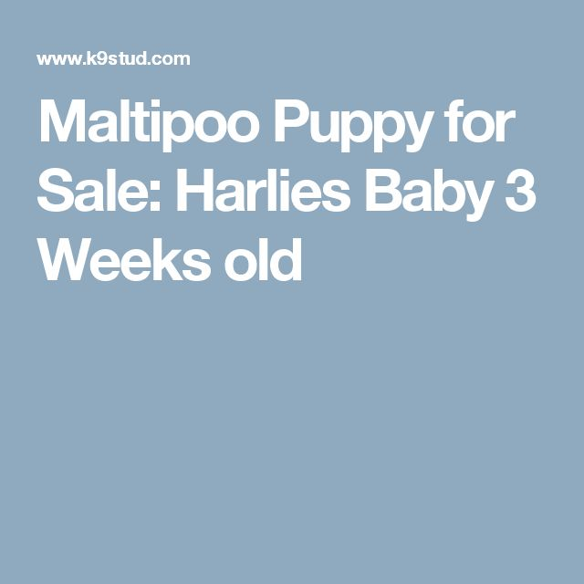 Maltipoo Puppy for Sale: Harlies Baby 3 Weeks old