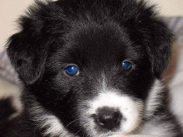 blue eyed border collie pup
