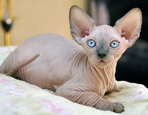 sphynx cats for adoption | Canada Cats for Sale, Adoption, Buy, Sell @ Adpost.com Classifieds ...